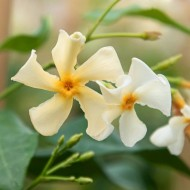Large 6-7ft Specimen Climber - Star Jasmin - Fragrant Evergreen Trachelospermum as. 'Chili and Vanilla'