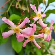 Fragrant Trachelospermum asiaticum Pink Showers - Pinky Wings Star Jasmine Plants