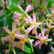 Large 5-6ft Specimen Climber - Fragrant Trachelospermum asiaticum Pink Showers