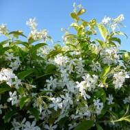 Fragrant Evergreen Star Jasmin -Trachelospermum jasminoides - 140cm Specimen Plant +