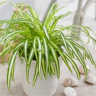 Variegated Spider Plant - Chlorophytum - in White Display Pot