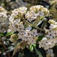 Viburnum odoratissimum awabuki