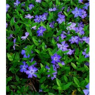 Vinca minor - Blue Flowered Evergreen Ground Cover - Lesser Periwinkle Plant