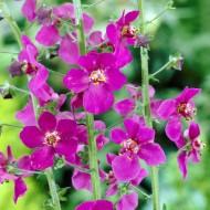 """Verbascum phoeniceum """"Violetta"""""""
