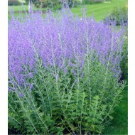 Perovskia Blue Spire - Russian Sage Little Spire - LARGE