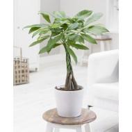 Pachira aquatica tree - 'Money Tree' with a Braided Stem - Circa 100cm tall