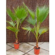 Mexican Fan Palm - Washingtonia Robusta Cotton Palm for Patio or Deck - Approx 75-120cms (3-4ft) tall