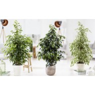 Collection of THREE Different Weeping Fig Trees - Ficus House Plants