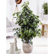Ficus benjamina 'Danita' - Weeping Fig Tree