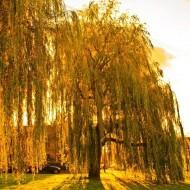 Salix sepulcralis 'Chrysocoma' - Golden Weeping Willow