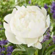 Paeonia White - Peony Bare Root
