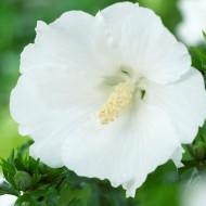 Hibiscus syriacus William R. Smith