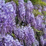 Wisteria sinensis Prolific - Blue - Large Specimen Plant 6ft
