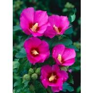 Hibiscus syriacus Woodbridge - Pink Tree Hollyhock