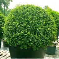 English Yew Topiary Ball - Taxus baccata  - Medium