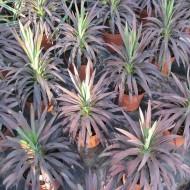 Yucca aloifolia 'Purpurea' - Spanish Dagger