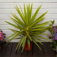 Patio Adams Needle Yucca Jewel Palm Tree - Approx 60-80cms