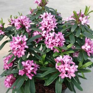 Daphne x transatlantica PINK FRAGRANCE - Evergreen Daphne