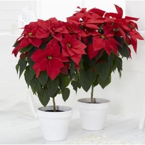 Statement Red Poinsettia Tree in Jute Presentation Bag