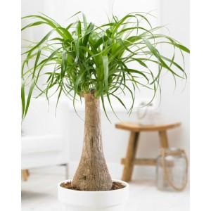 Beaucarnea recurvata - Pony Tail Palm in White Display Pot