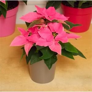 Pretty Pink Princettia in Silver Pot - Poinsettia Plant