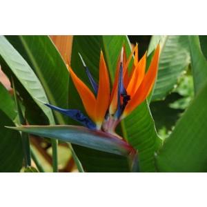 LARGE - Strelitzia reginae - Bird of Paradise Plant - Starting to Flower