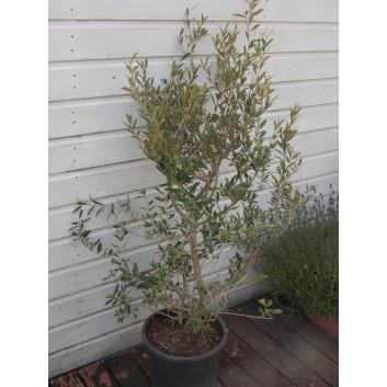Large Mediterranean Olive Shrub circa 100-140cms