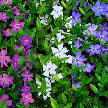 Vinca minor Multi-Colour - Tricolour flowers Evergreen - Pack of THREE Lesser Periwinkle Plants