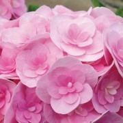 Hydrangea Love - Beautiful Double Flowered Pink Hydrangea