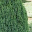 Juniperus chinensis Stricta' - Dwarf Slow Growing Conifer