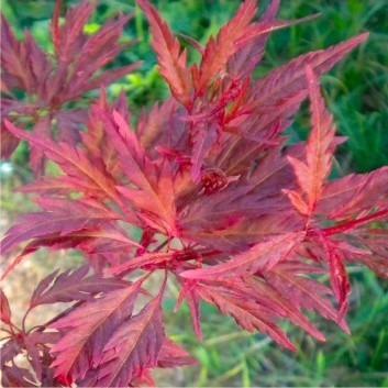 Acer palmatum Beni Hagoromo - Japanese Maple (Acer palmatum 'Tamukeyama')