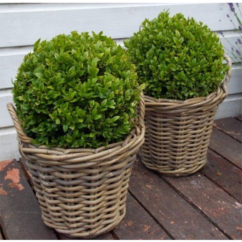 Pair of Topiary Box Balls with Stylish Cane Baskets - Perfect for Patios