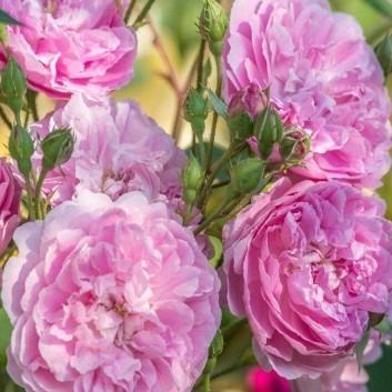 Rose Harlow Carr ® - David Austin ® Shrub Rose