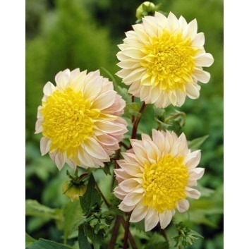 SPECIAL DEAL - Dahlia POLKA - Pack of THREE - Extra Special Variety