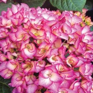 Hydrangea Swinging Sixties - Striking Pink Flushed Flowers