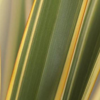 Phormium Golden Ray - New Zealand Flax