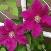 Clematis Ernest Markham - Summer Flowering Clematis