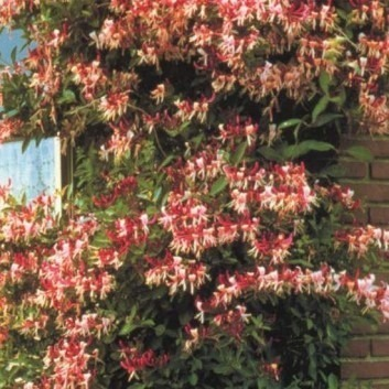 Lonicera periclymenum Belgica - Honeysuckle