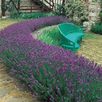 Pack of 30 Fragrant English Lavender Plants - Lavandula Angustifolia