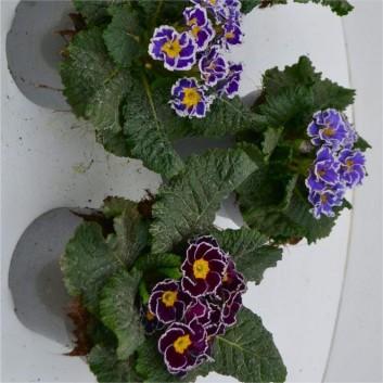 Primula Sirocco - Large Ruffled Primrose