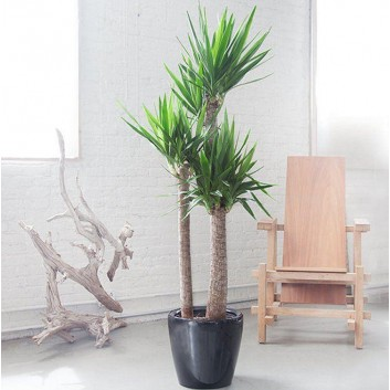 Yucca elephantipes - Large Specimen Indoor Yucca Tree - 130-150cms