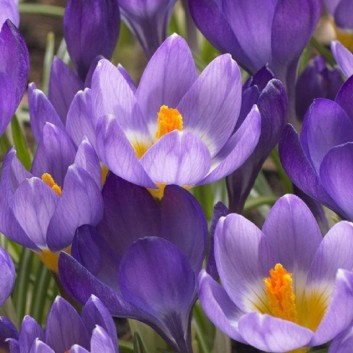 Crocus Mixed - White, Purple, Blue, Striped and Yellow