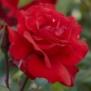 Rose Ruby Anniversary - Floribunda Rose