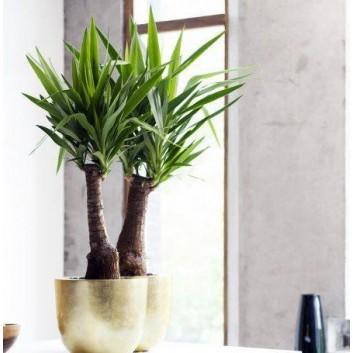 Yucca elephantipes - Indoor Yucca Tree - 100cms
