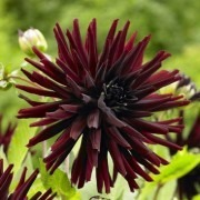 SPECIAL DEAL - Dahlia Nuit D'ete - 'Summer Night' - PREMIUM VARIETY - Pack of THREE