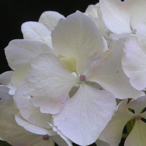 Hydrangea White Nymph Mophead - Giant Football sized Flowers - Large Plants