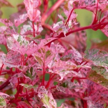 Acer conspicum Red Flamingo