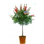 Callistemon Standard - Red Australian Bottle Brush Patio Tree