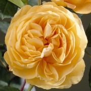Rose Golden Celebration ® - David Austin ® Shrub Rose