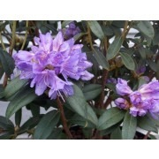 SPECIAL DEAL - Dwarf Rhododendron Blue Tit in Bud and Bloom - Pack of TWO Plants